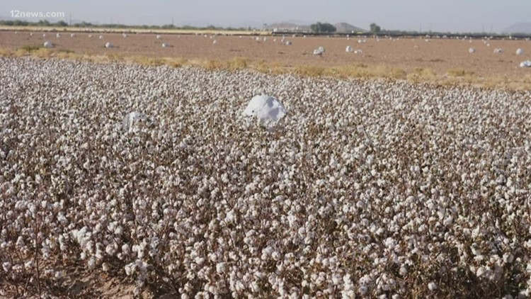 Farmer says lantern festival could have devastated her cotton field