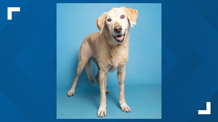 This senior Labrador with special needs is looking for his forever home