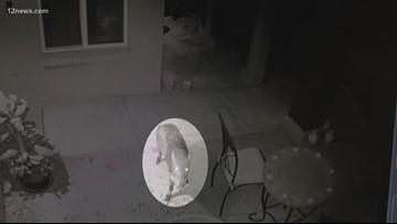 Brazen bobcats making Ahwatukee pet owners nervous