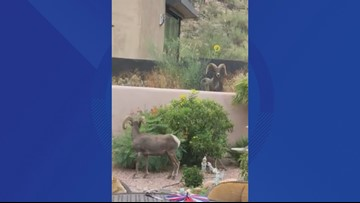 Watch: Bighorn sheep spotted in Oro Valley yard