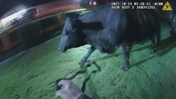 VIDEO: Cow runs loose through Glendale neighborhood