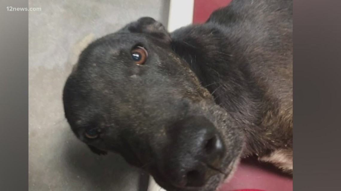 Oscar, the dog found in a Phoenix landfill, recovering from surgery