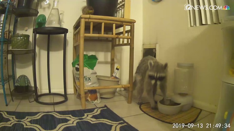 A raccoon keeps coming to my north Phoenix house