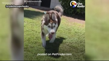 Arizona husky with unique walk goes viral
