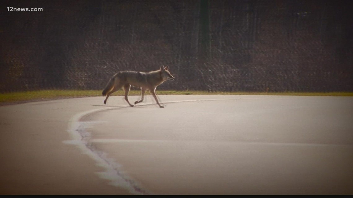 Prescott police warn residents about string of coyote attacks