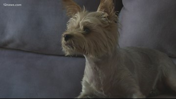 Ahwatukee man warning of bobcats in his neighborhood after his little dog was attacked