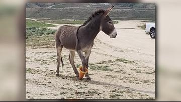 Burro in California gets orange cone stuck on hoof
