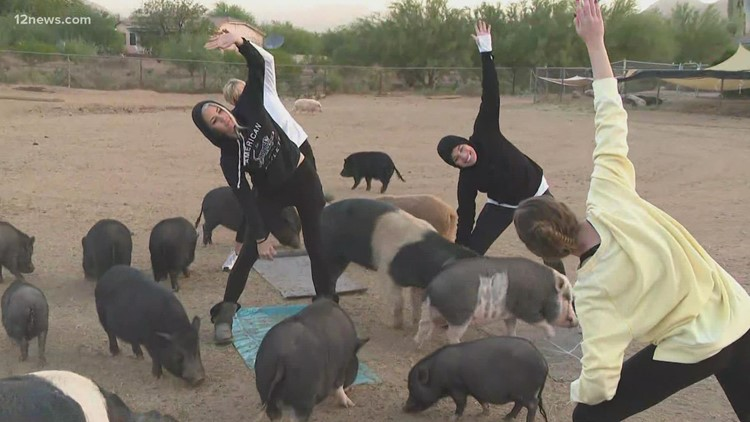 Pig yoga offering relaxing sessions with loving animals