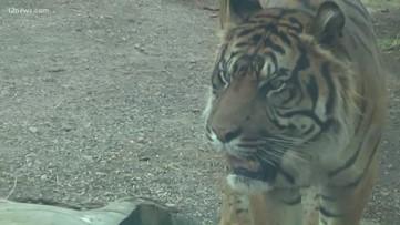 Trisha Hendricks checks out the tiger exhibit at the Phoenix Zoo