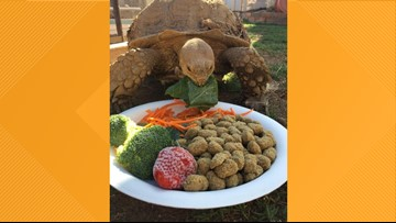 Scottsdale family seeking public's help in finding 60-pound Sulcata tortoise