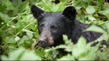 Colorado man bitten by black bear shot by hunting partner