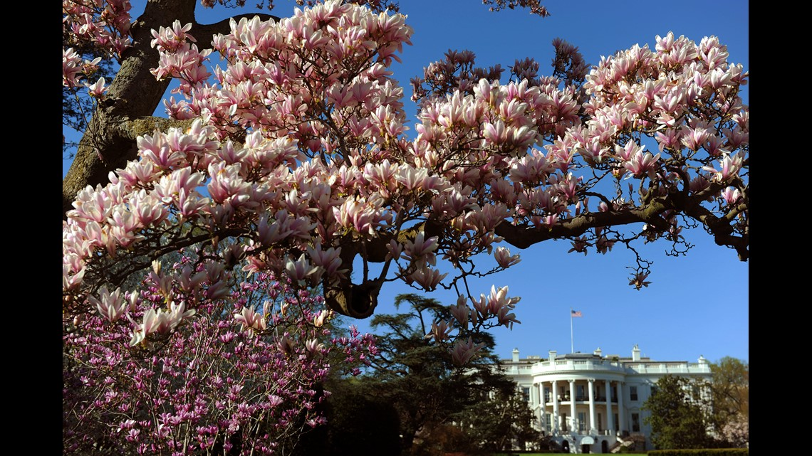 Part Of 200 Year Old White House Magnolia Tree To Be Removed