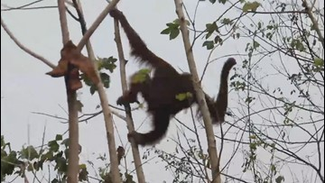 Two Orangutans Cling to Last Living Trees in Rainforest Ravaged by Wildfires