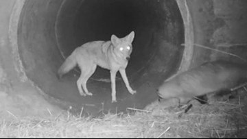Coyote, badger spotted traveling together under California highway