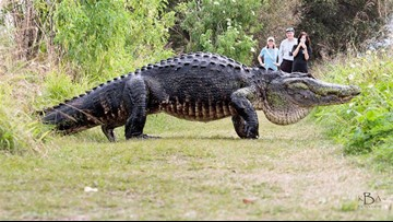 Massive gator spotted in Polk County