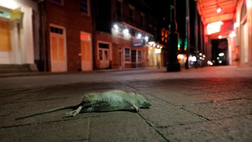 Rats becoming a problem in New Orleans as people empty restaurants, streets