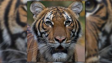 Tiger at New York City's Bronx Zoo tests positive for coronavirus